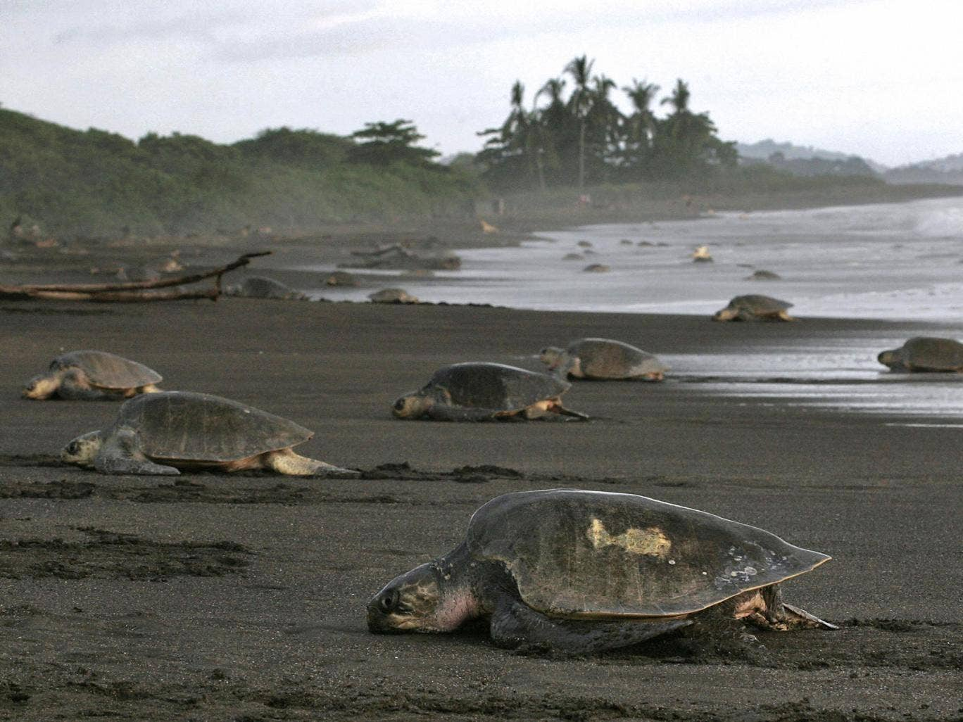 The endangered turtles of Costa Rica