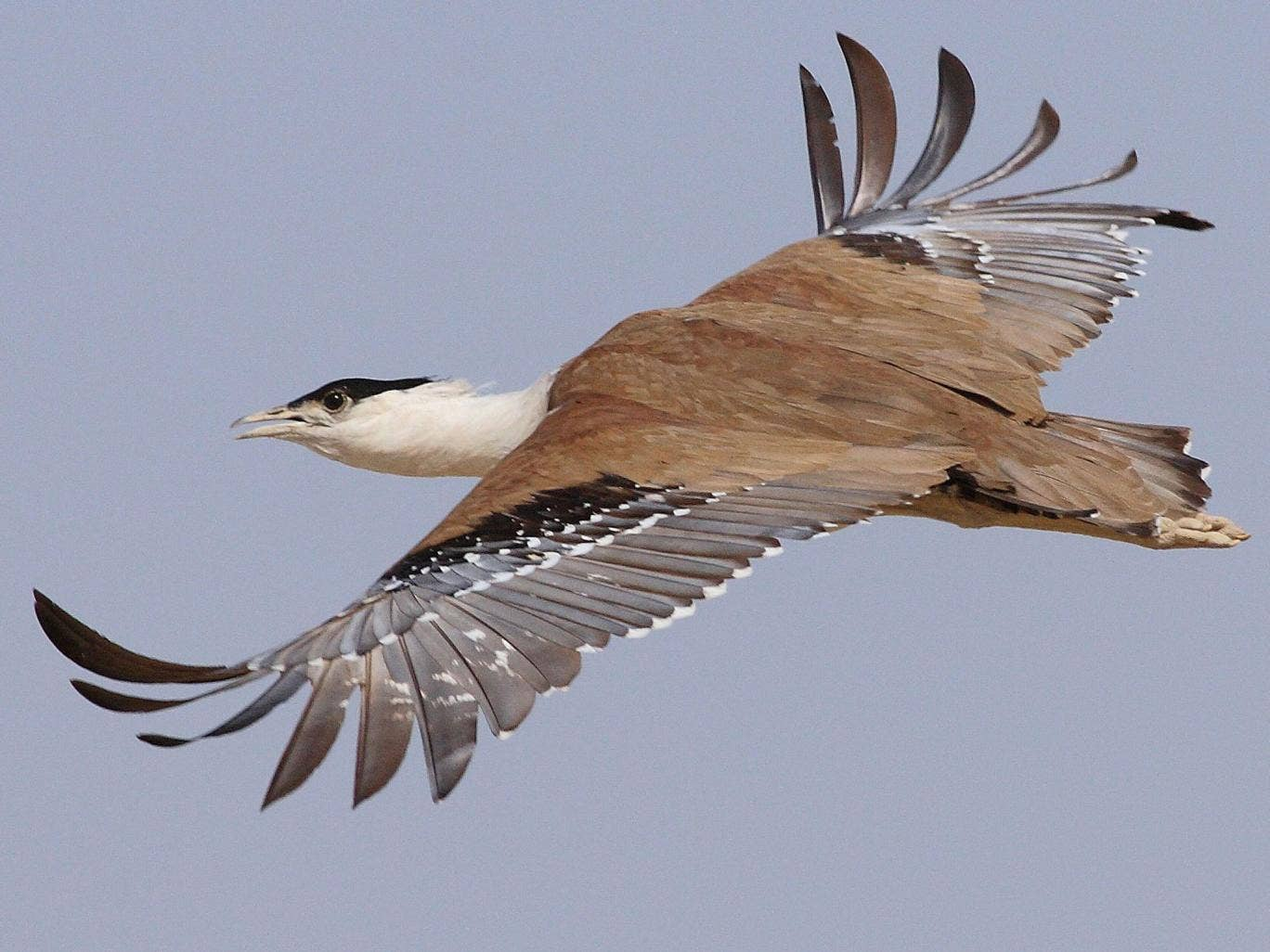 Conservationists hope to save the Great Indian Bustard from extinction
