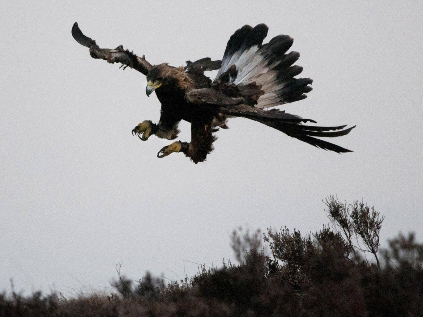A golden eagle in Scotland: several of the rare and highly-prized birds have vanished