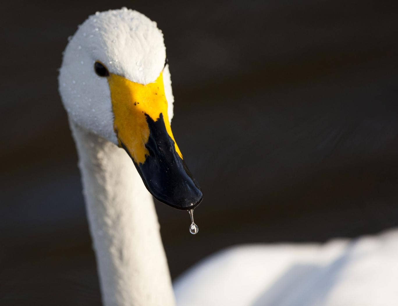 Maybe our ancestors will have beaks, like this swan