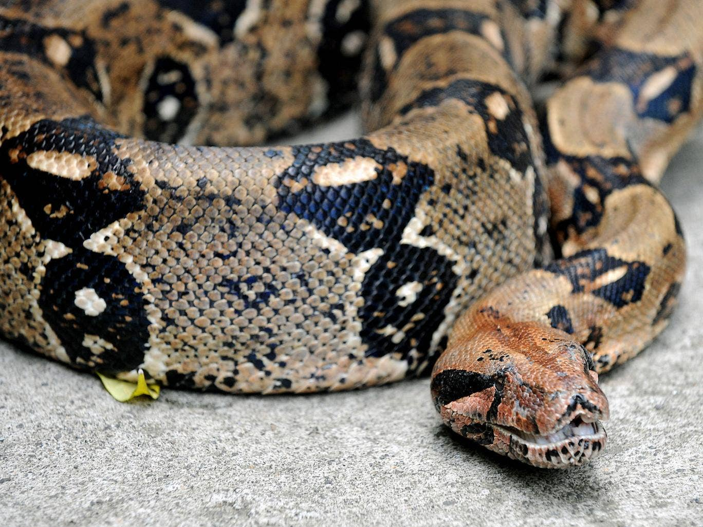 """Although Petzy (not pictured) is non-venomous police are warning members of the public not to approach her as she """"may become aggressive if it feels threatened""""."""
