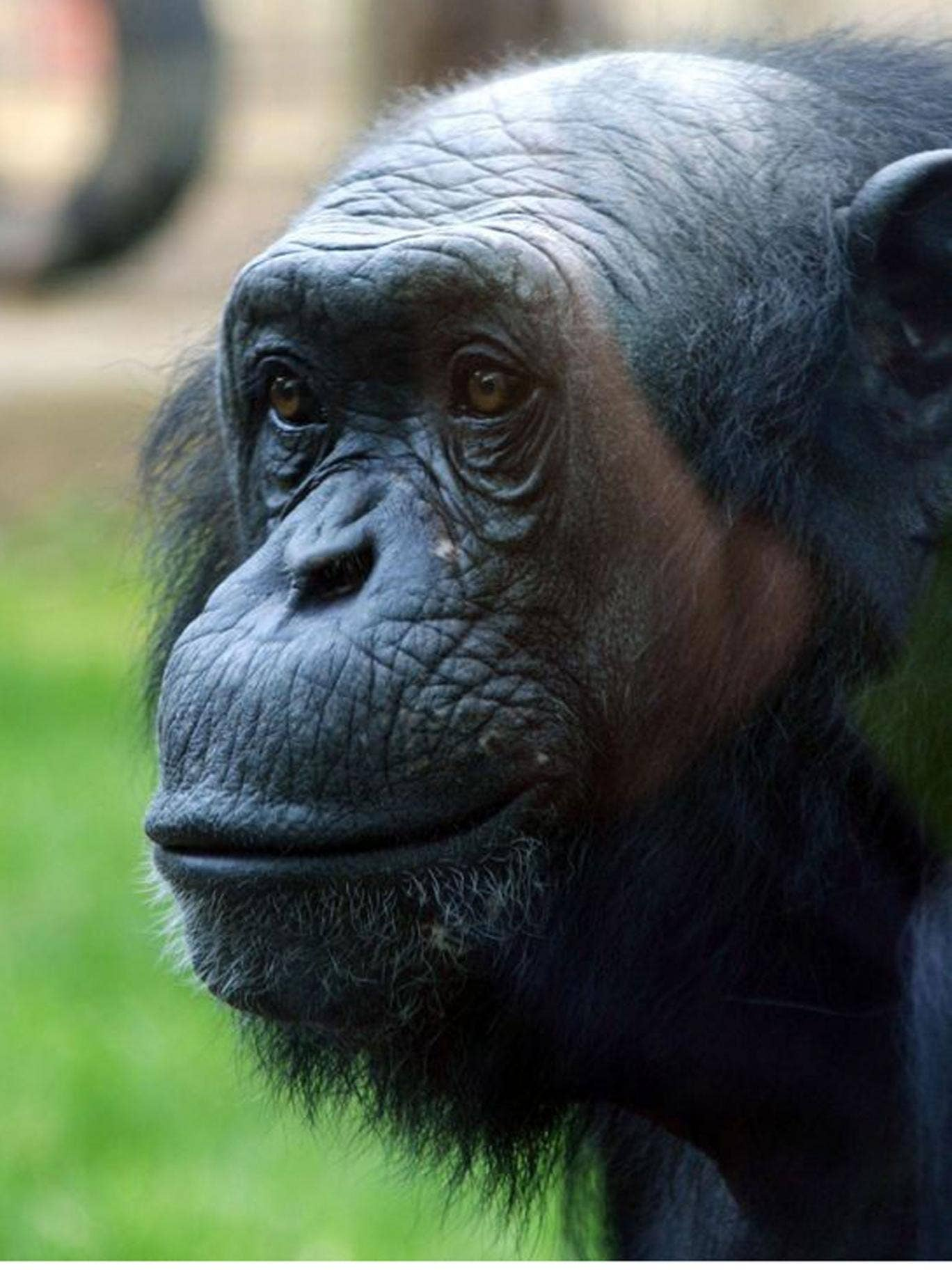 Louis the Chimp, who has died, aged 37