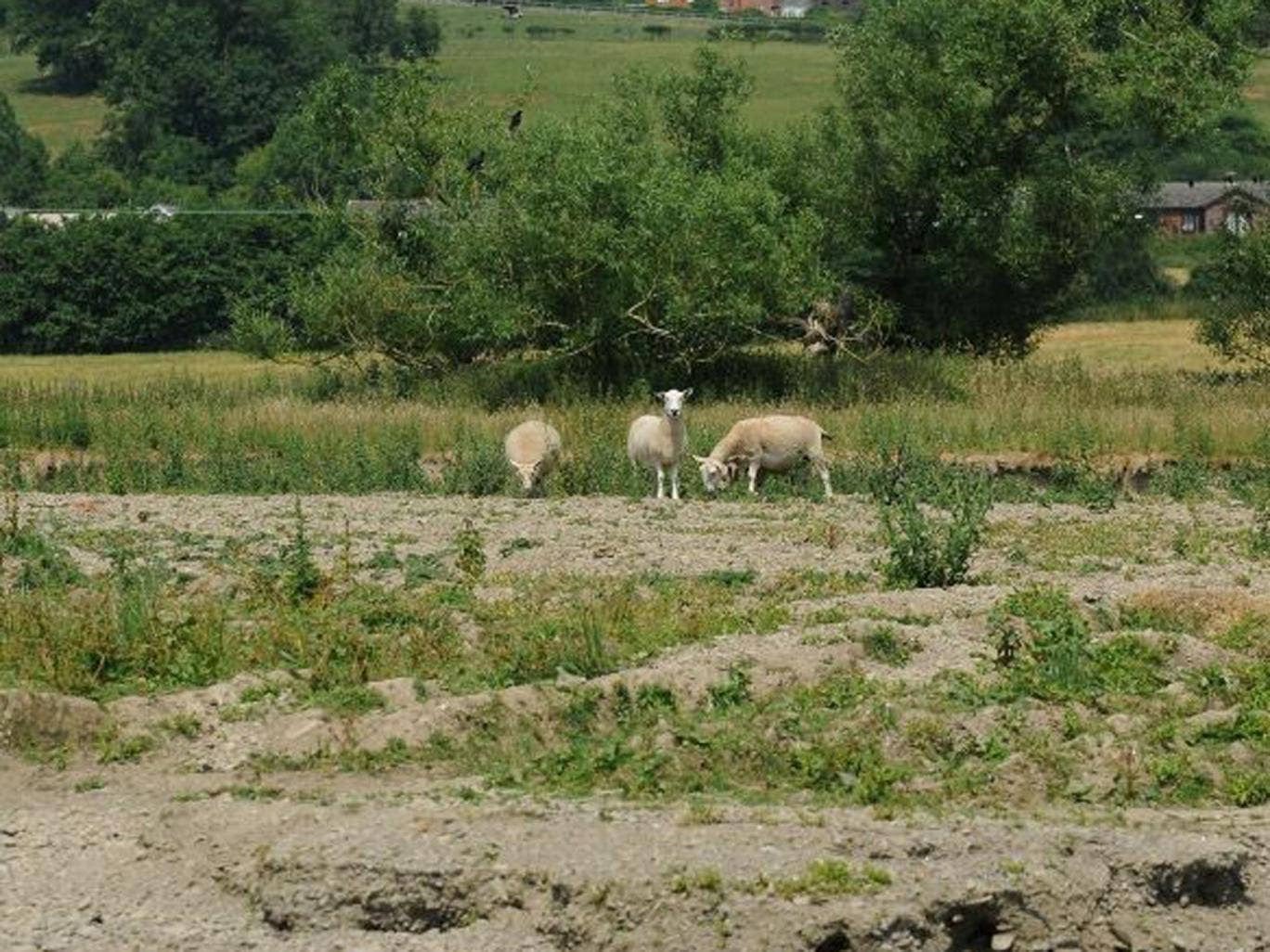 Sheep graze on a dried river bed in Hertfordshire.  Heat-baked ground could lead to localised flooding in the wake of the heatwave