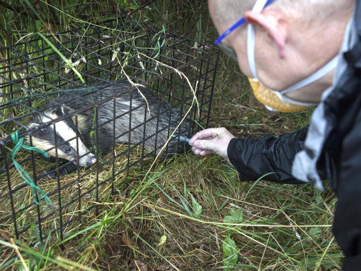 Badgers being vaccinated against TB near Stroud