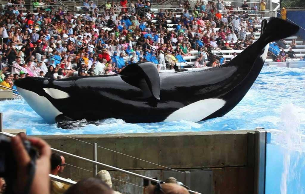 Tilikum in a scene from 'Blackfish'