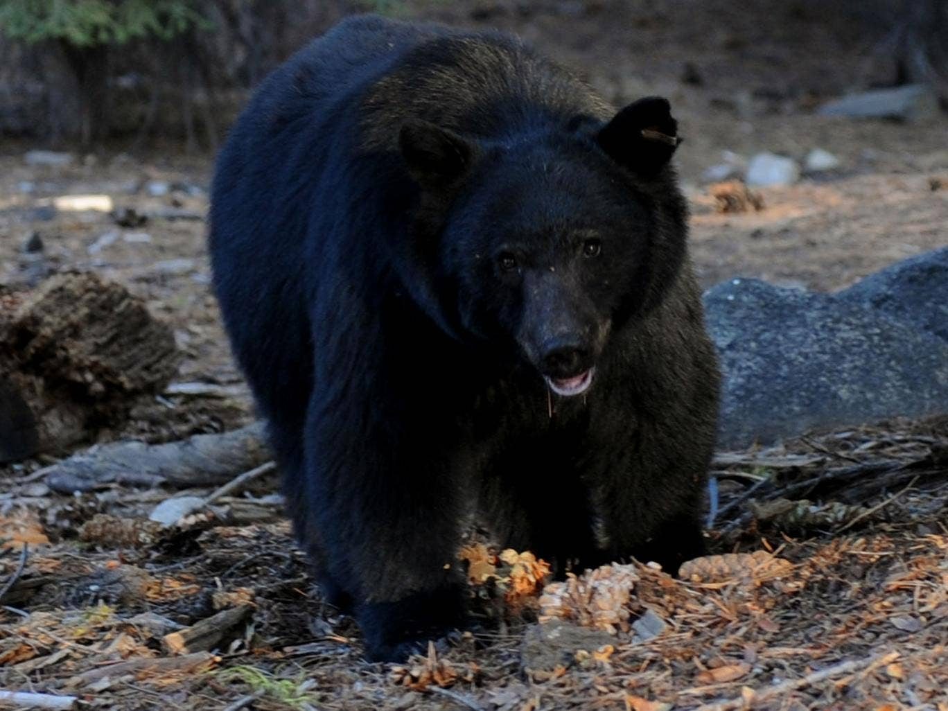 A black bear like the one that wandered into an Irish bar in Colorado
