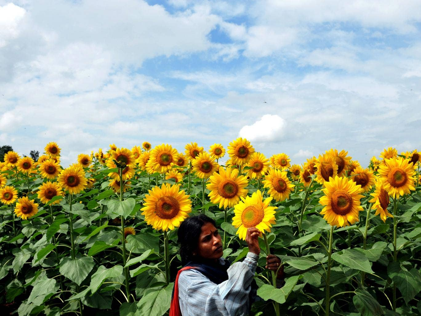 A farmer tends sunflowers, one of the crops in the project