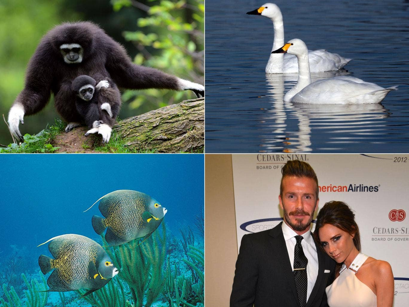 Gibbons, swans, French angelfish and humans can all be monogamous