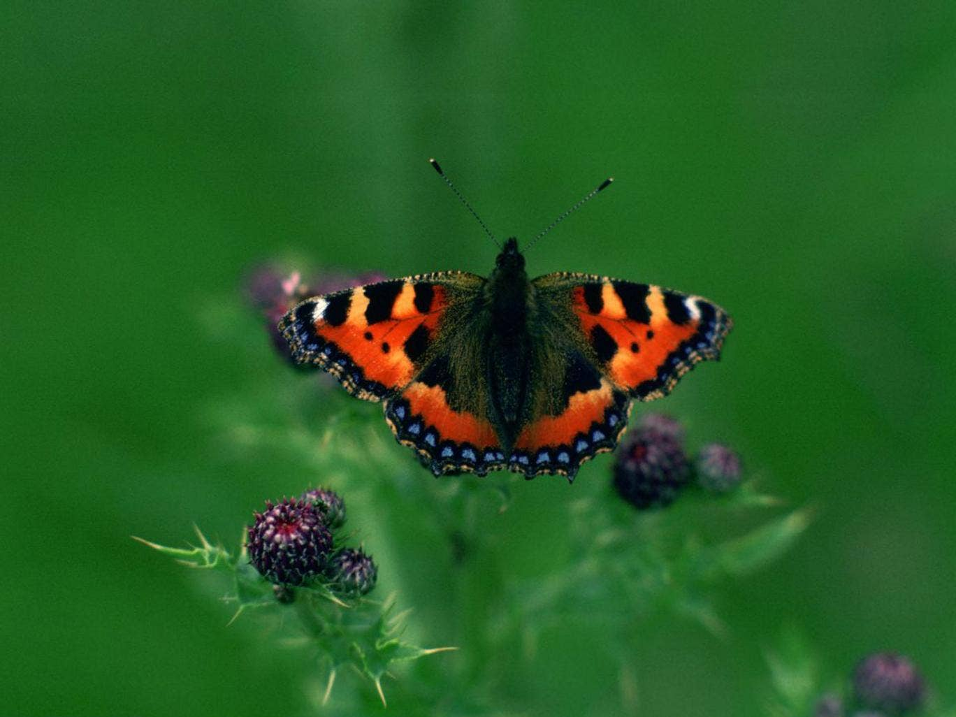 Tortoiseshell Butterfly, England, United Kingdom.