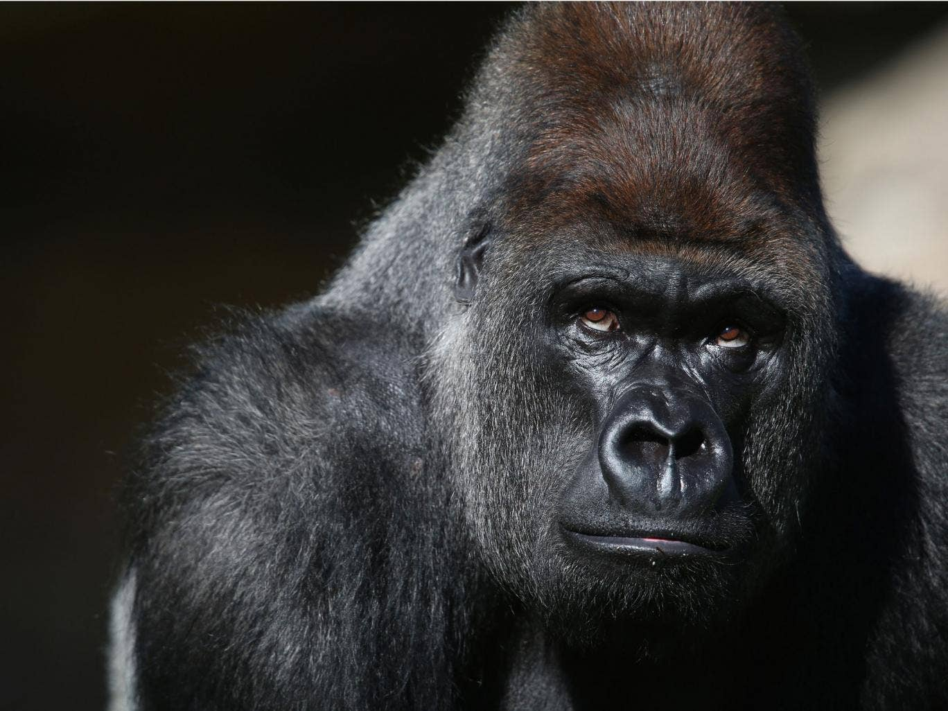 A world-renowned gorilla expert was killed after a chef she sacked bore a grudge
