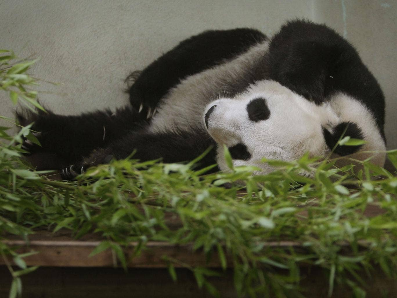Tian Tian at Edinburgh Zoo; her behaviour is said to have changed