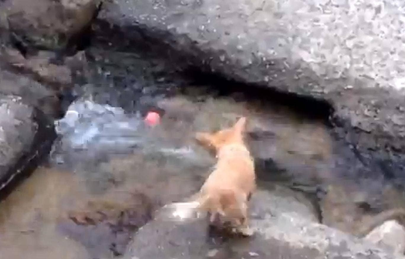 A video of a dog using a river current to play a solo game of 'fetch' has gone viral.