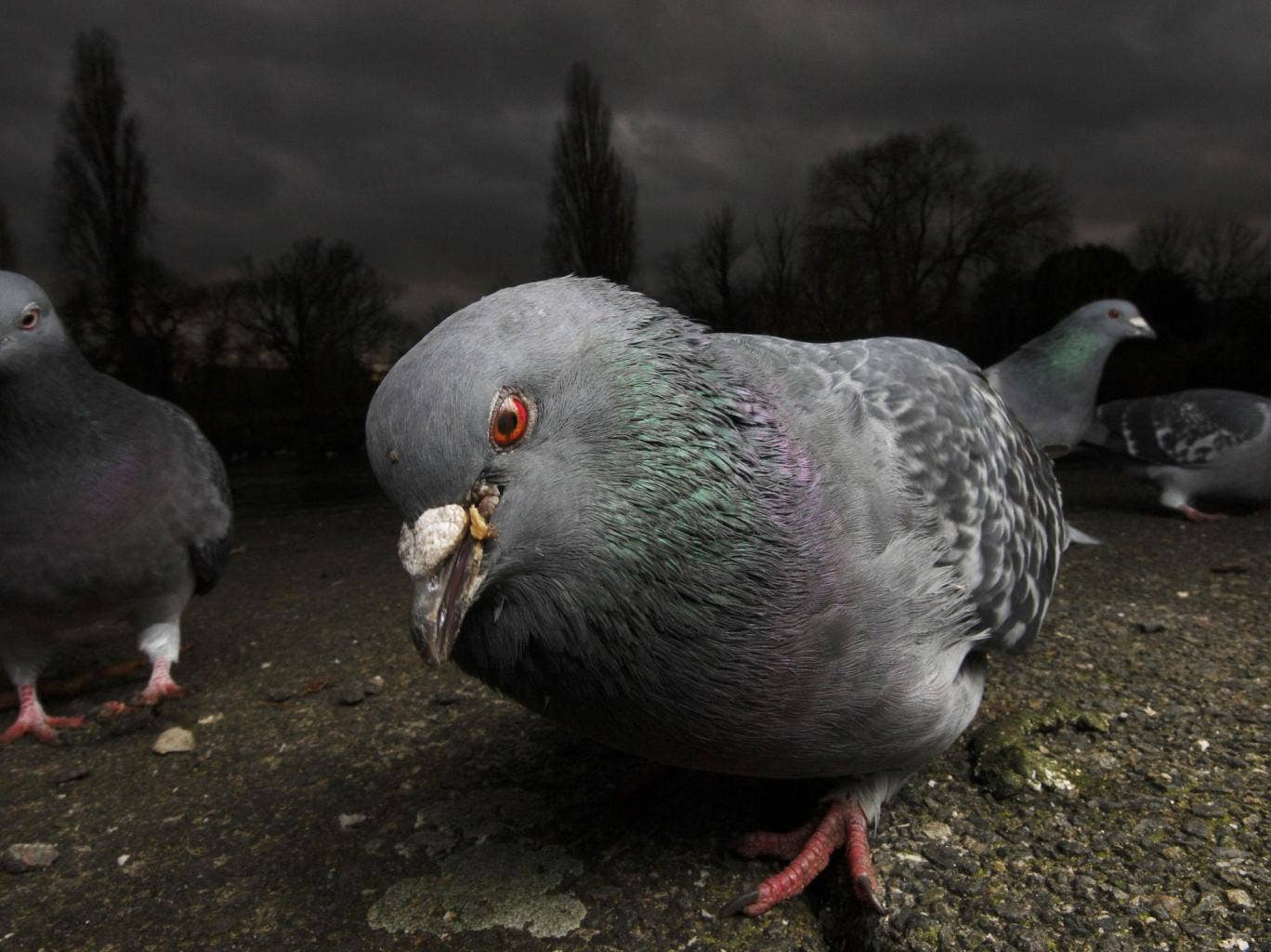 A number of panicked Russians have contacted the authorities to report concerns over the bizarre behaviour of pigeons in Moscow.