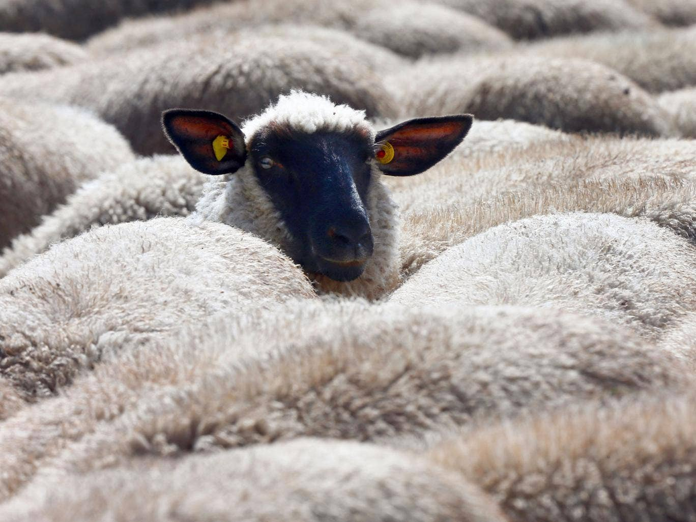 Man has sex with sheep pics 84