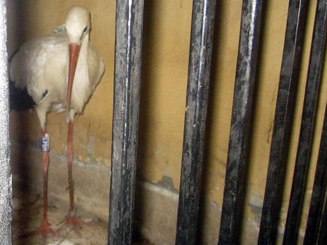 A migrating stork is held in a police station after a citizen suspected it of being a spy and brought it to the authorities in the Qena governorate.