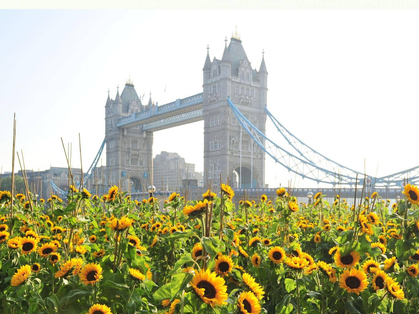 Flora celebrated the return of their iconic sunflower logo with a surprise field of sunflowers popping up at Potters Field Park