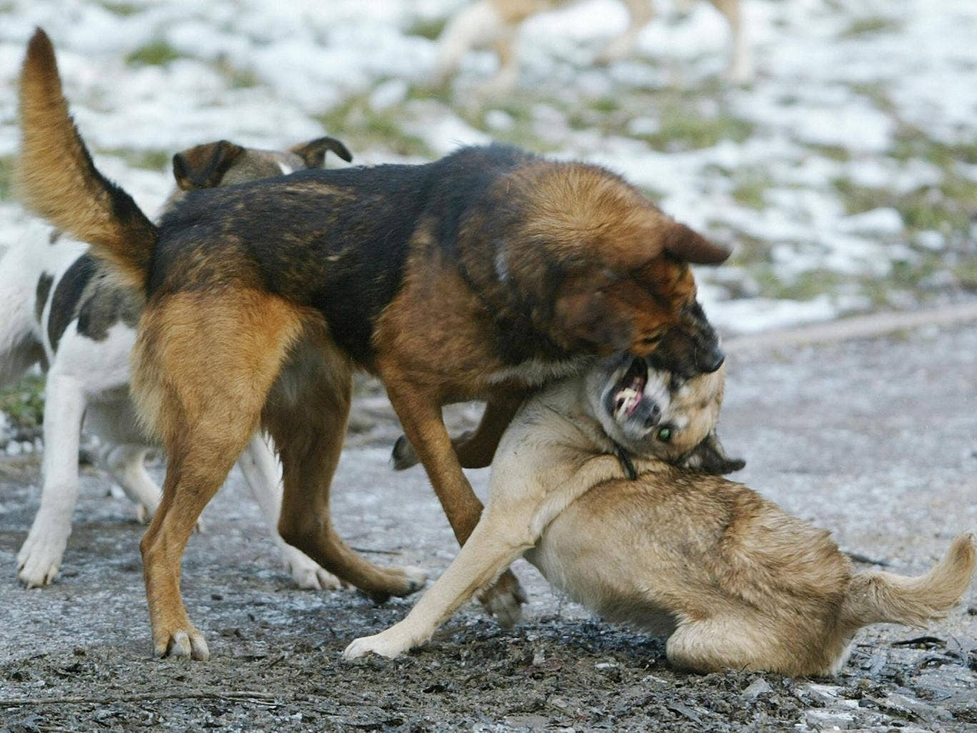 Stray dogs fight in a park in Bucharest