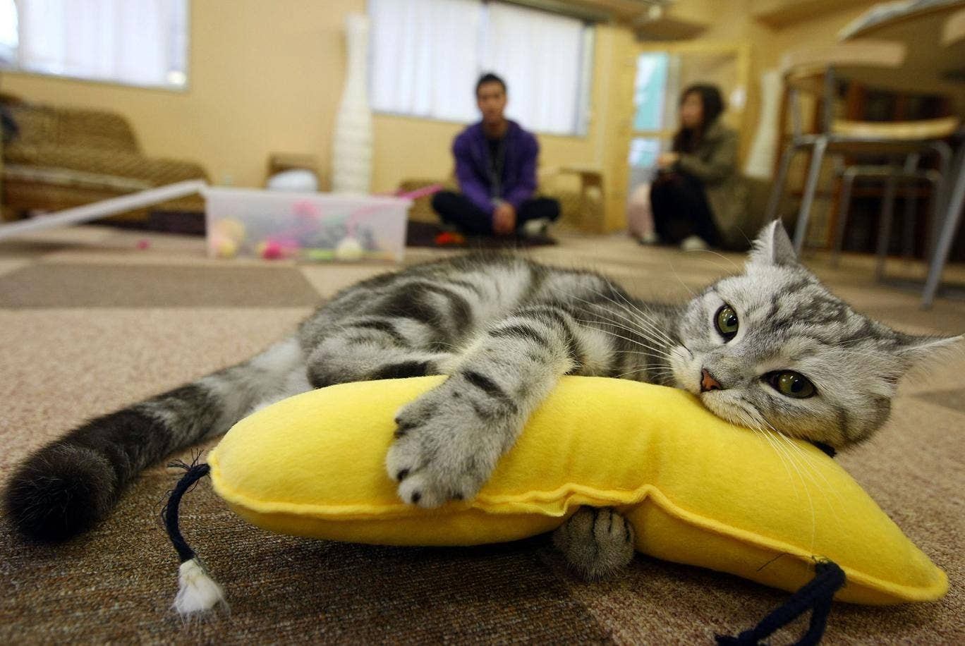 A cat plays at a cat cafe on  in Tokyo, Japan, as the UK's first feline-friendly shop is set to open in the coming months