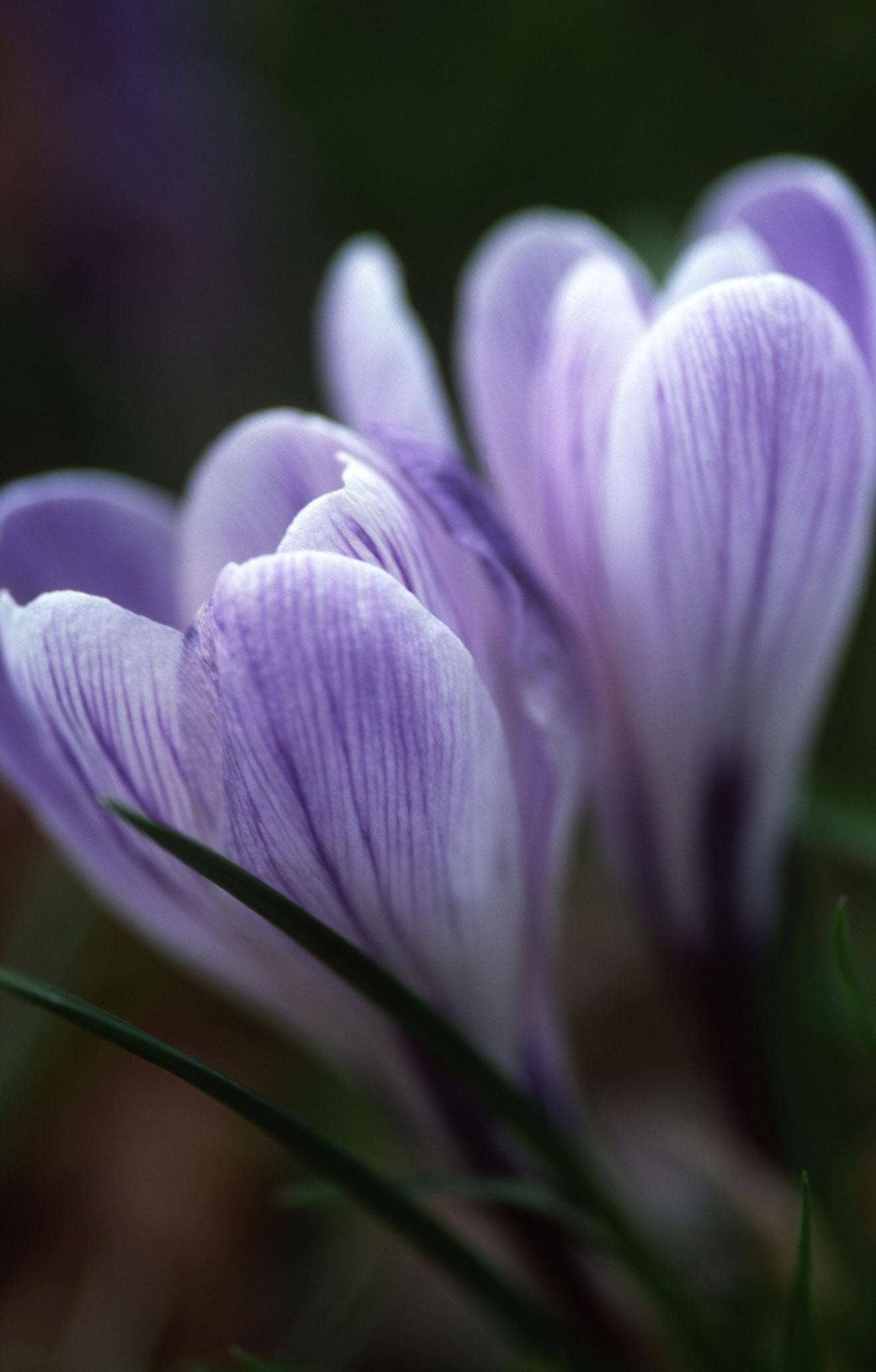 Crocus 'Vanguard' is bigger than most of the early-flowering crocus, but not as bossy as the large Dutch crocus that flower in March