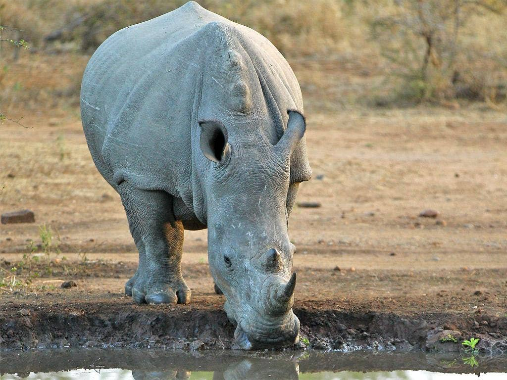 South Africa is home to almost all Africa's rhinos
