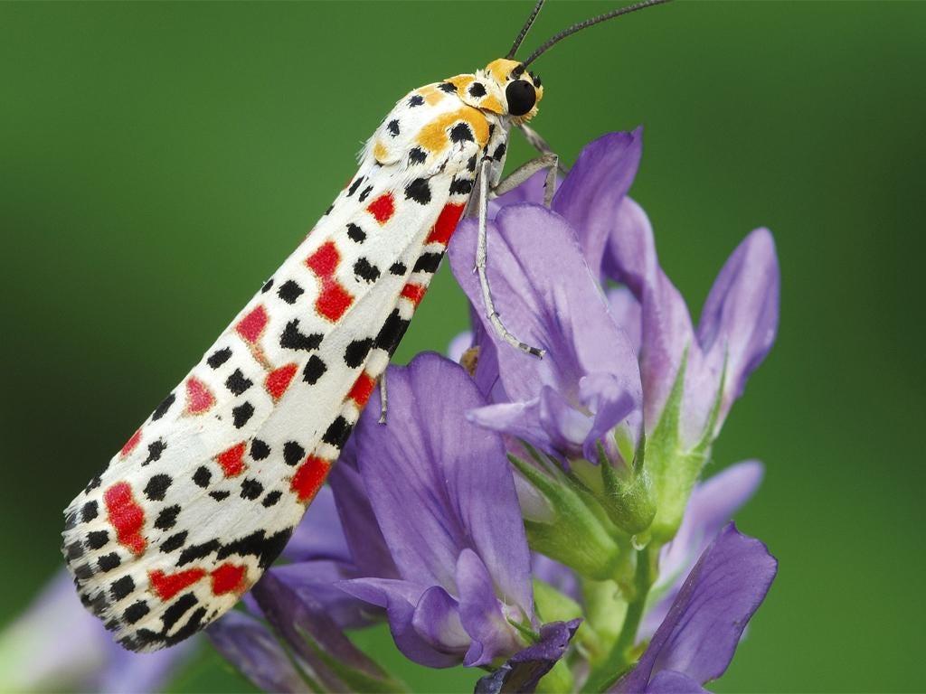 A Crimson Speckled moth