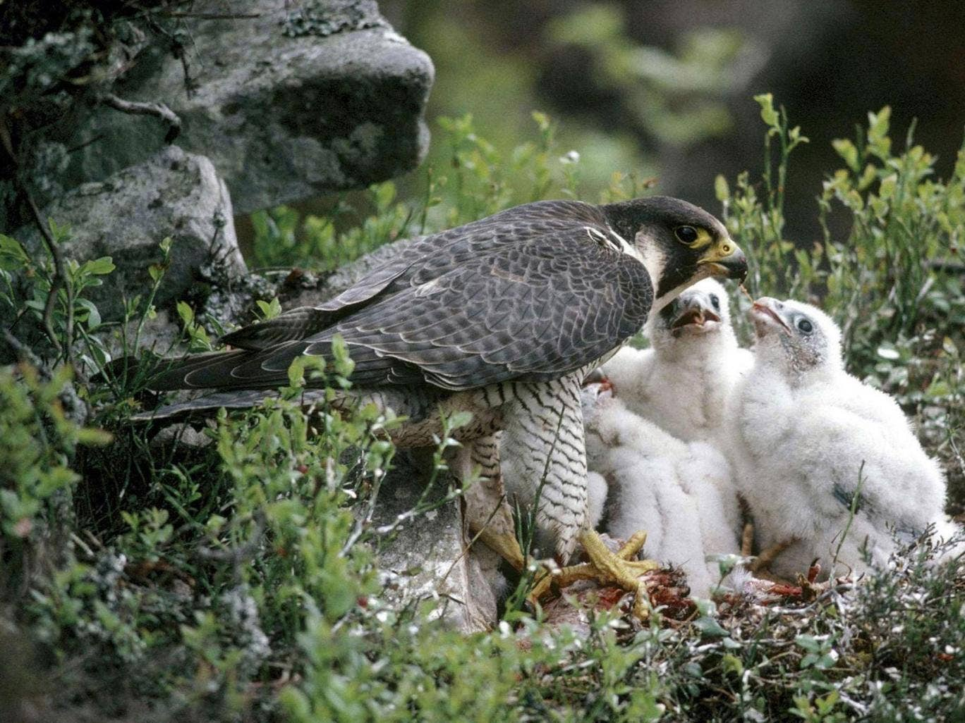 The Forest of Bowland, taking up much of Lancashire, has been a focus of peregrine falcon conservation efforts