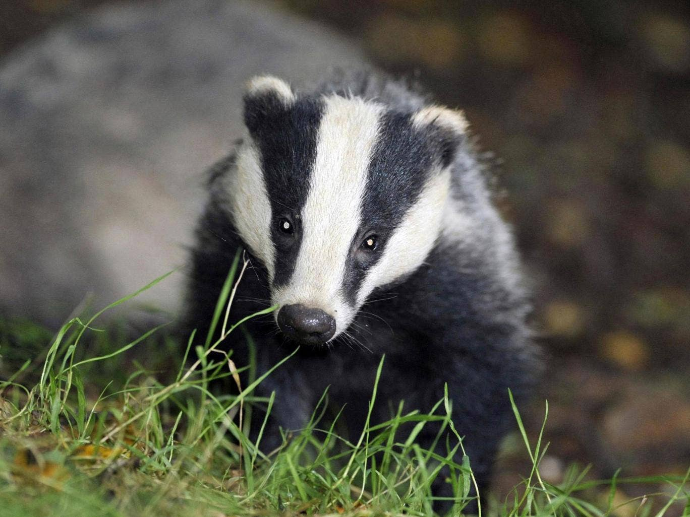 The trial needed to kill 70 per cent of the badger population to be effective. So far, it has only managed to eliminate 30 per cent