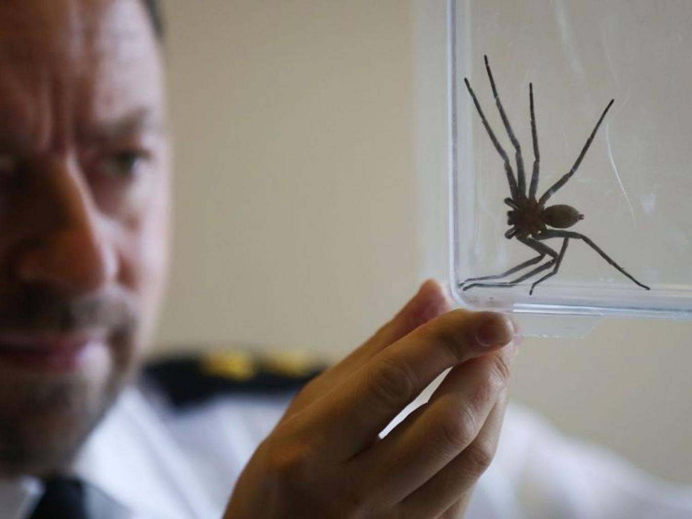 RSPCA Inspector Tony Woodley holds a seven-inch-long huntsman spider, common to Australia, which was discovered in a delivery at St Leonards-on-Sea