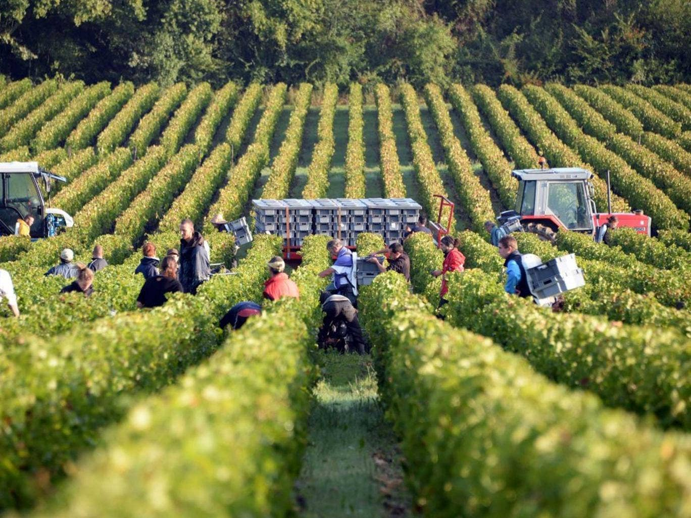 Sorrows to drown: This year's vintage is likely to be one of the most disappointing ever