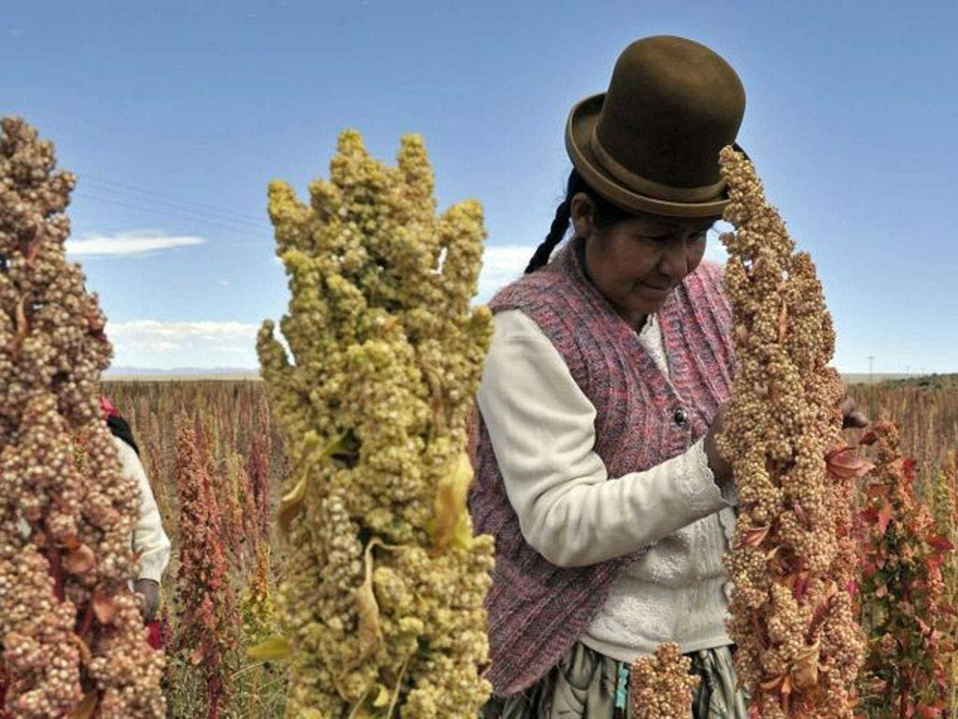Against the grain: a Bolivian farmer checks his quinoa, now a key ingredient in high-end salads