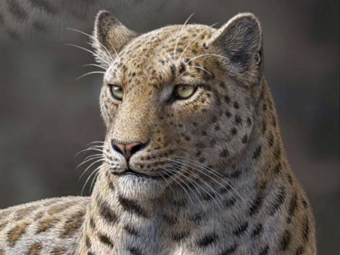 This artist rendering shows a reconstruction of extinct big cat, Panthera blytheae, based on skull CT scan data