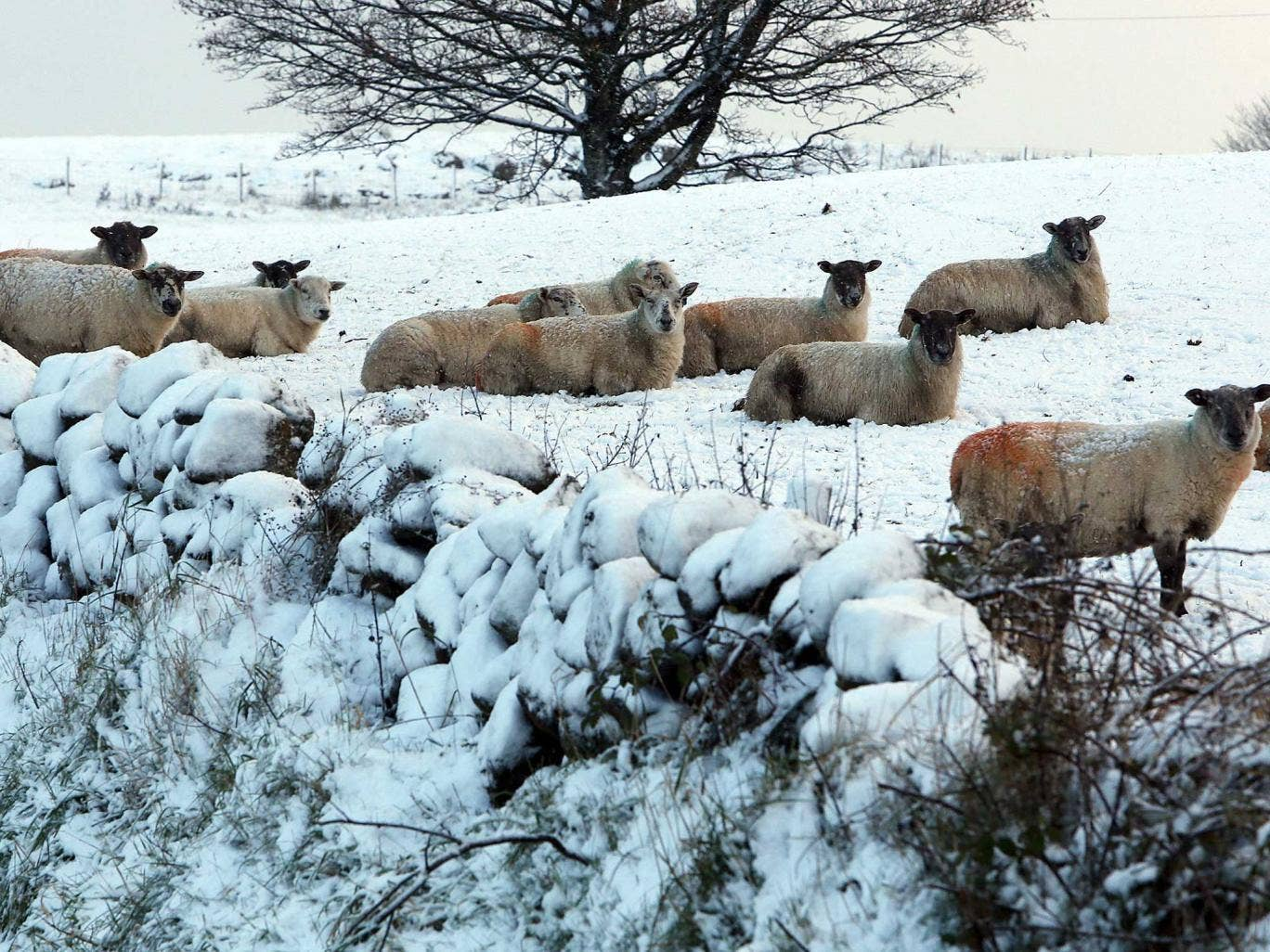 Sheep in the hills above Glenarm in Co Antrim, as the first snowfall of the season covered parts of the county