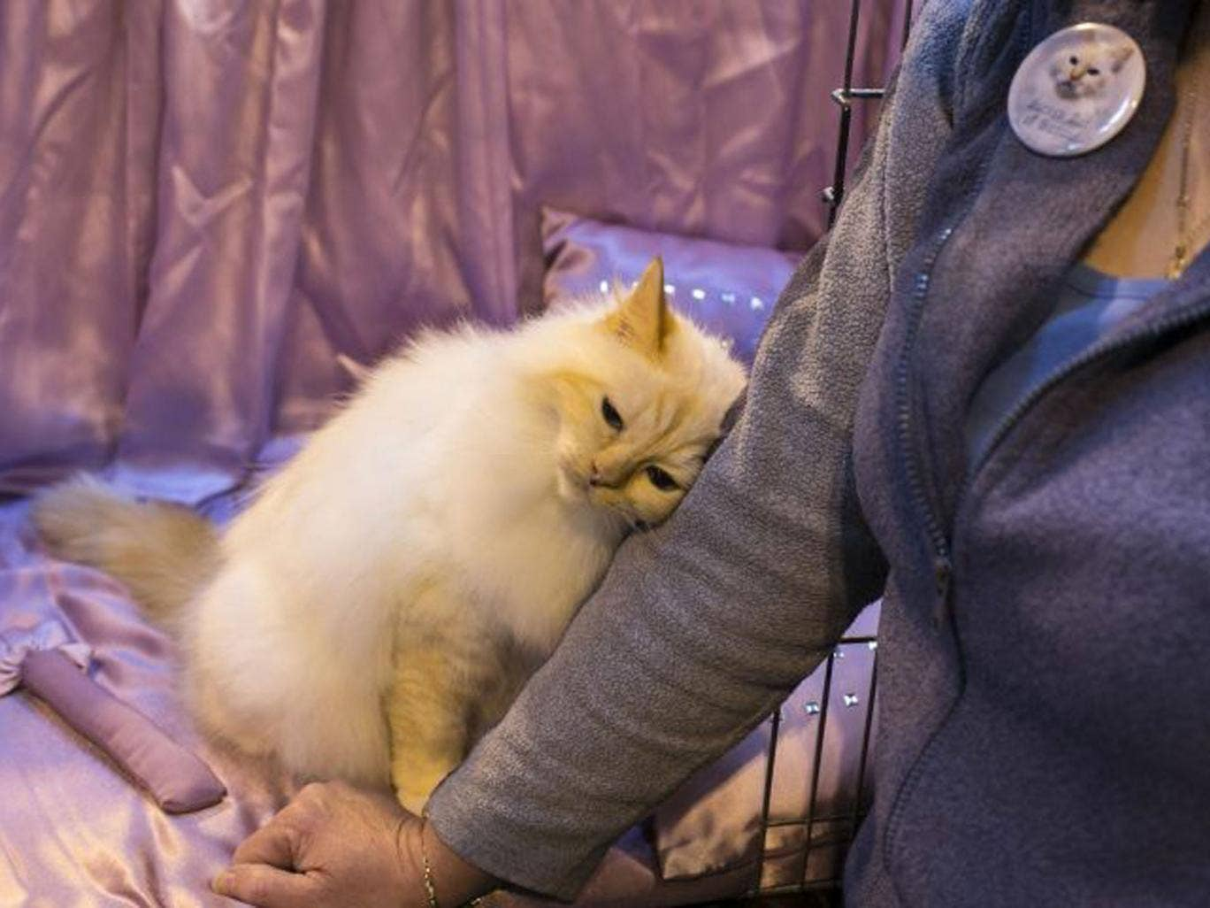 A cat snuggles up to its owner as he waits to be judged at the Governing Council of the Cat Fancy's 'Supreme Championship Cat Show' at the NEC Arena in Birmingham