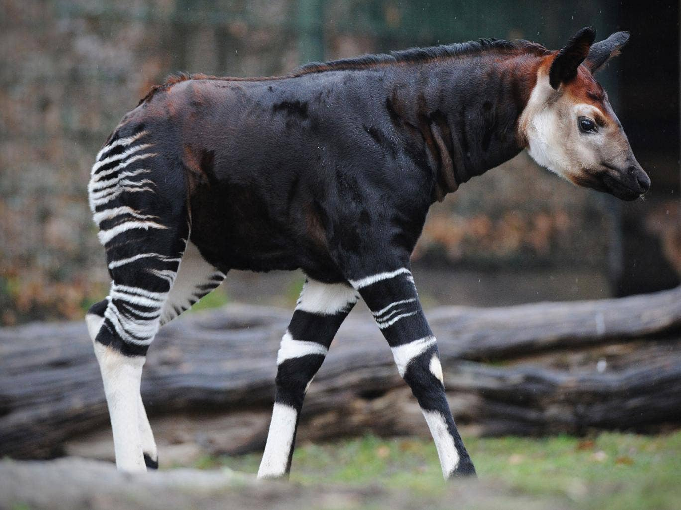 The okapi is a national symbol in Congo