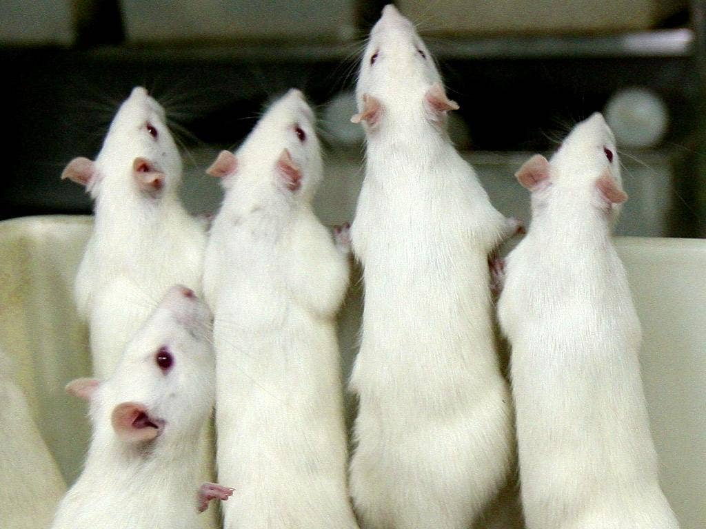 Mice with the mutated gene got a bigger reward stimulus from the alcohol compared to ordinary mice
