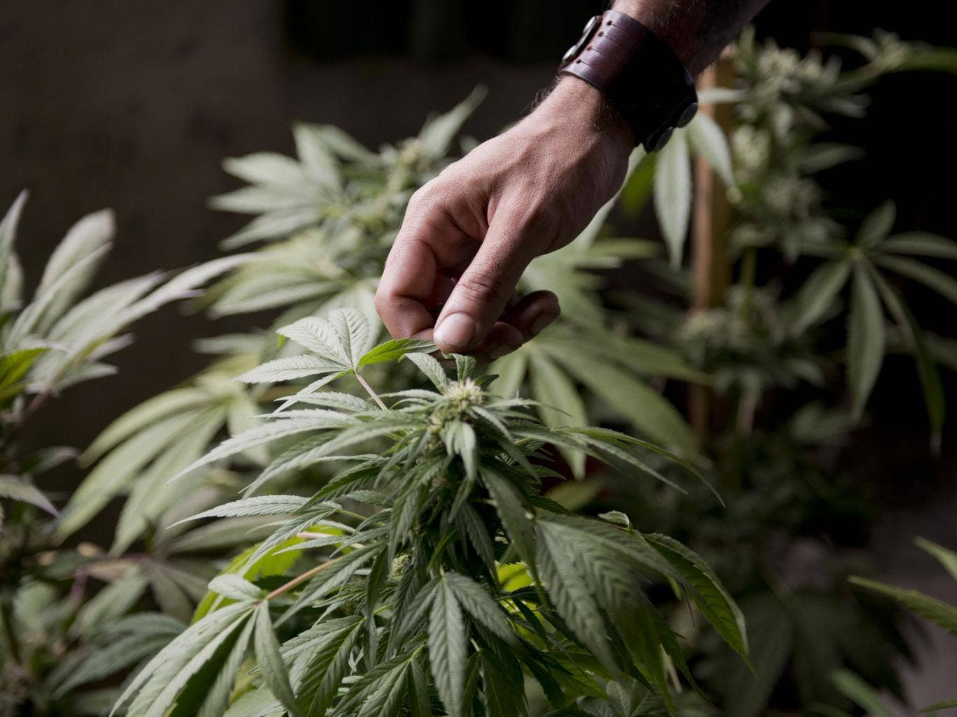A marijuana grower checks the leaves of his marijuana plants for fungus, on the outskirts of Montevideo, Uruguay