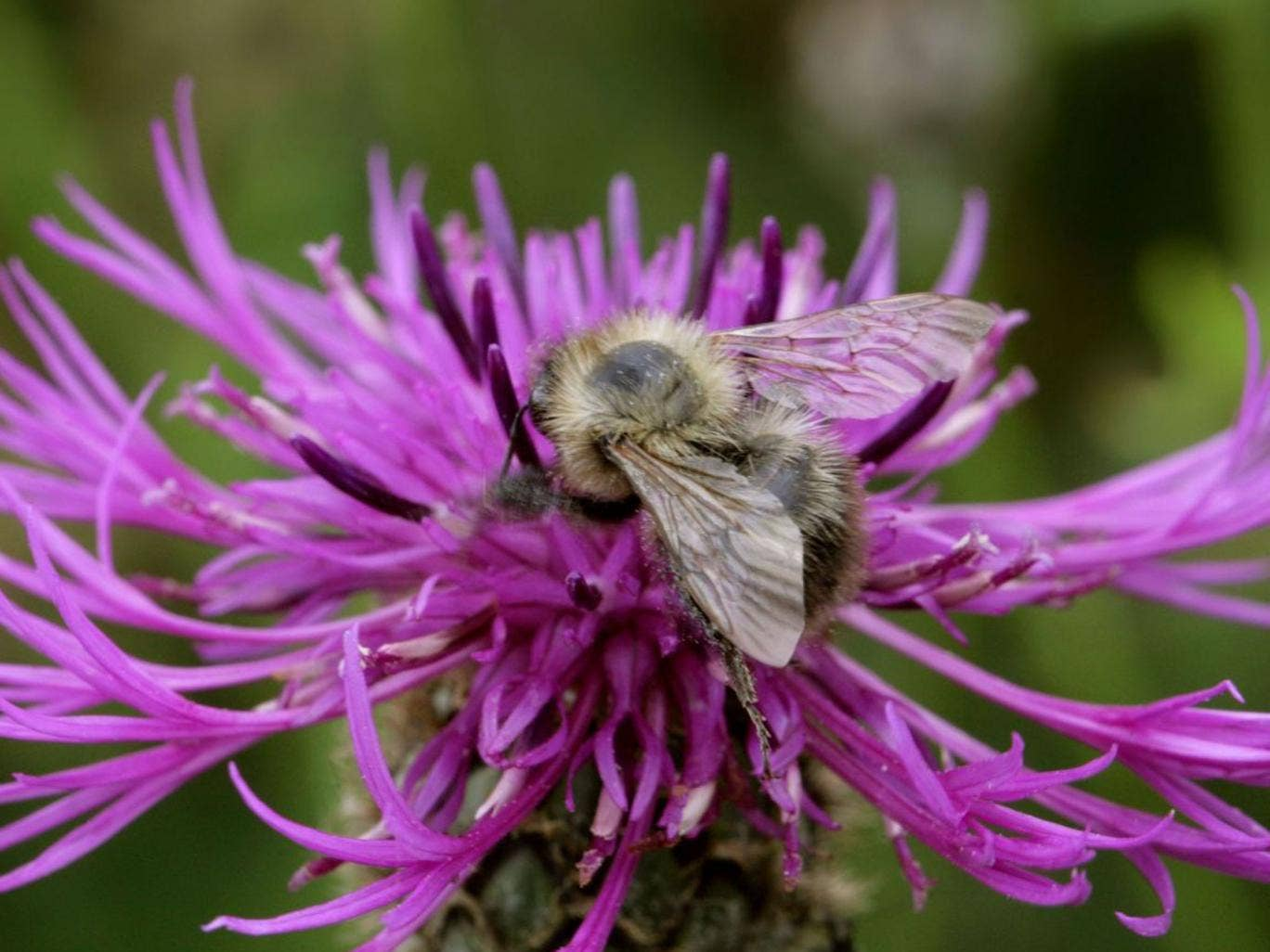 Winging it: The shrill carder bee is thriving in Kent