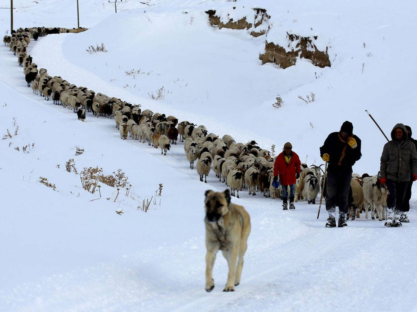 These shepherds, with their 500-strong flock, were stuck for three days due to the heavy snowfall