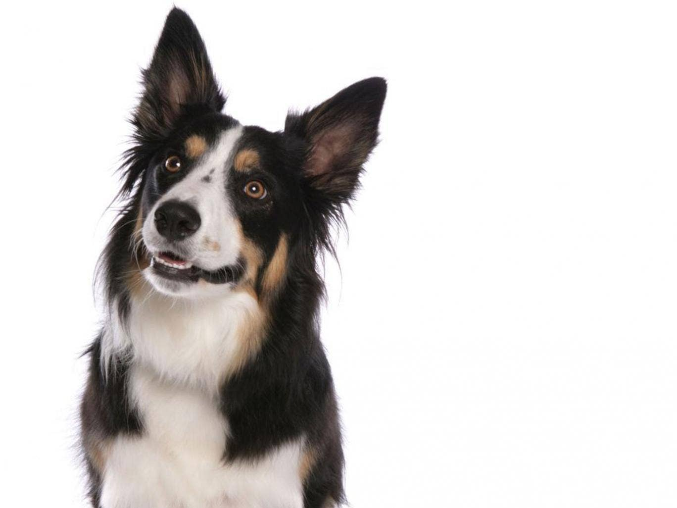 Chaser the black and white sheepdog has learnt and remembered more than 1,000 proper nouns
