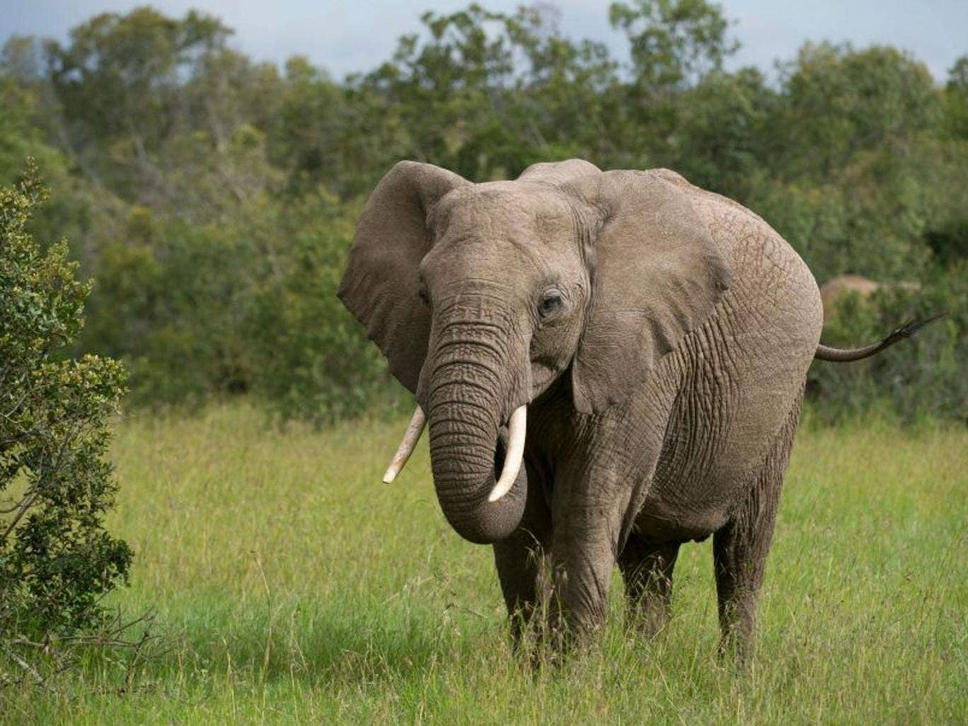 Wild and dangerous? Because elephants and humans live so closely in Kenya there are sometimes accidents