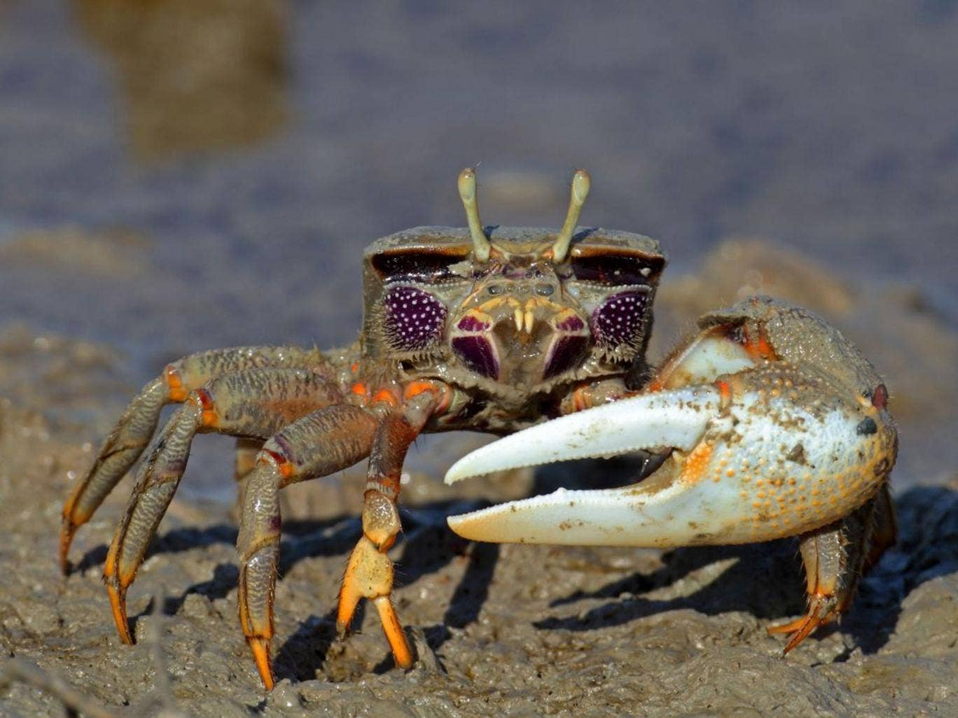 Fiddler crabs: During mating displays, the males stand beside other males who have smaller claws to make their own claws look bigger