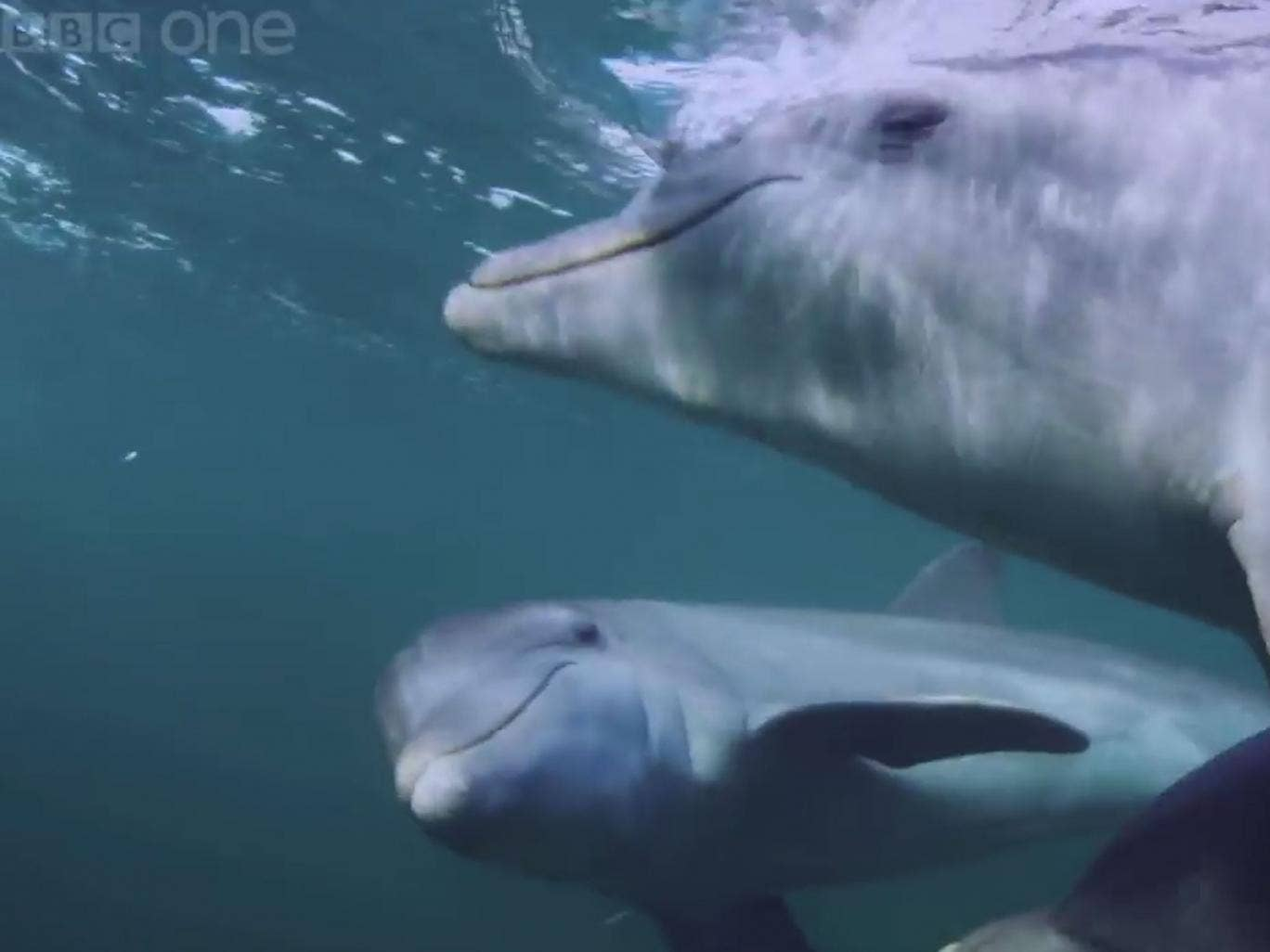 Footage captured for the BBC One documentary Dolphins: Spy in the Pod showed the marine mammals chewing on puffer fish in order to get 'high'