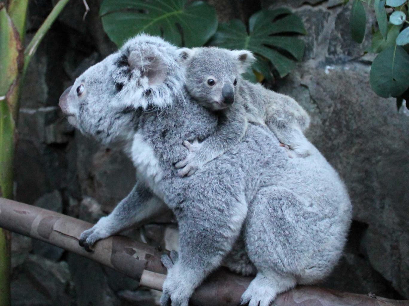 Yooranah with his mother Alinga at Edinburgh Zoo