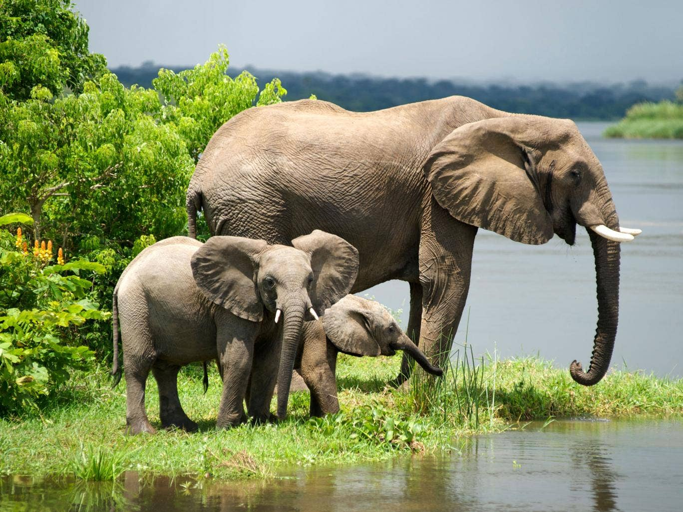 Elephants in Murchison Falls National Park, Uganda, remain at risk even there