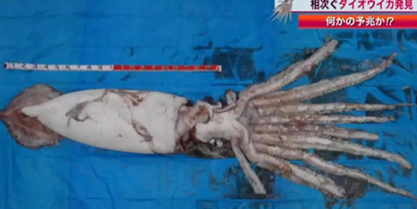 The giant squid which was caught off the coast of Japan last week