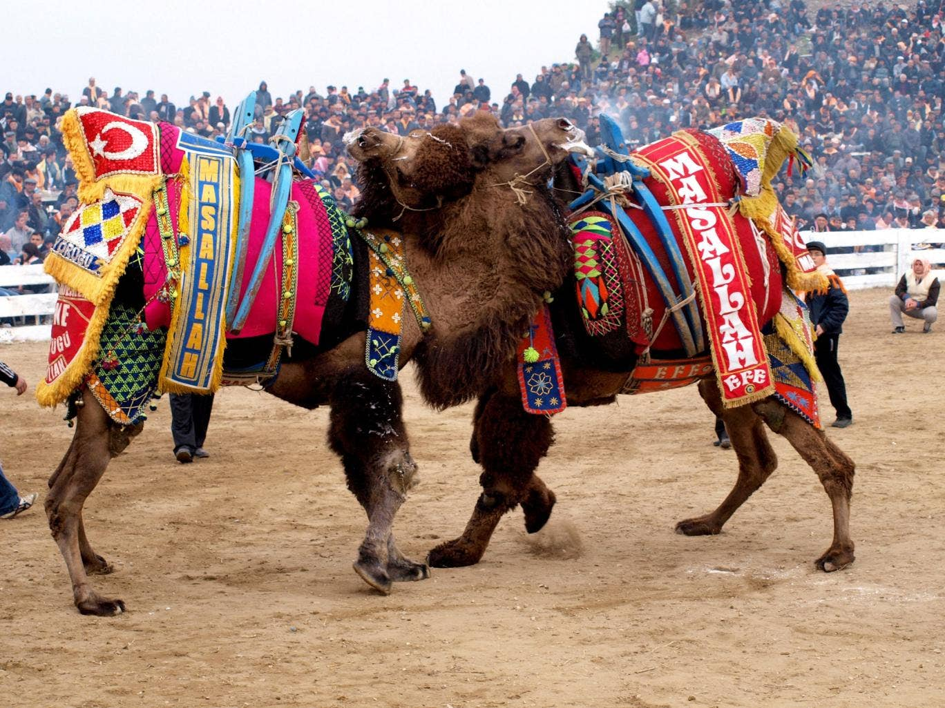 Getting the hump: camels do battle in front  of tens of thousands of spectators
