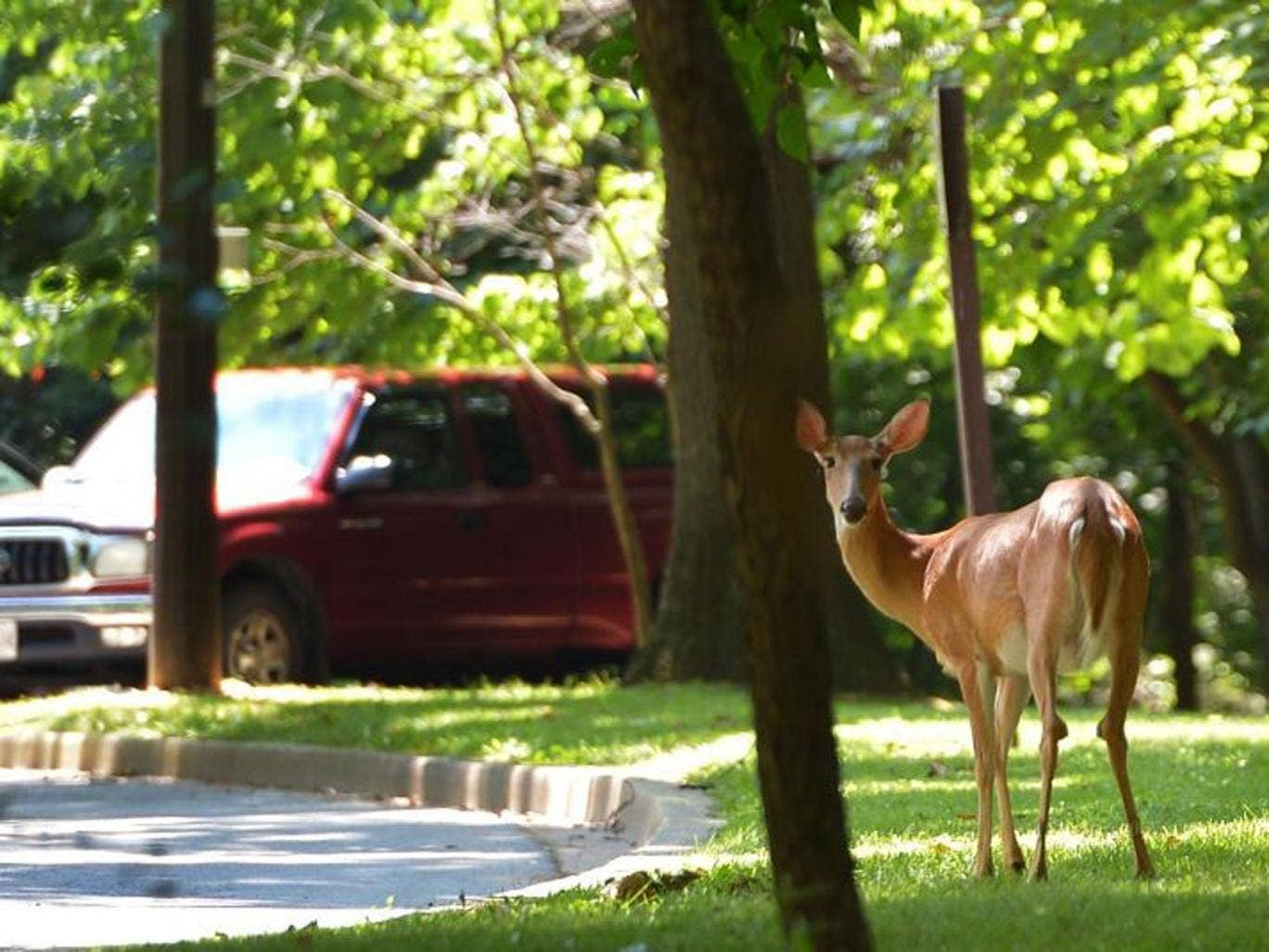 Wild Target: Washington DC's Rock Creek Park has four times as many deer as it can cope with, say authorities