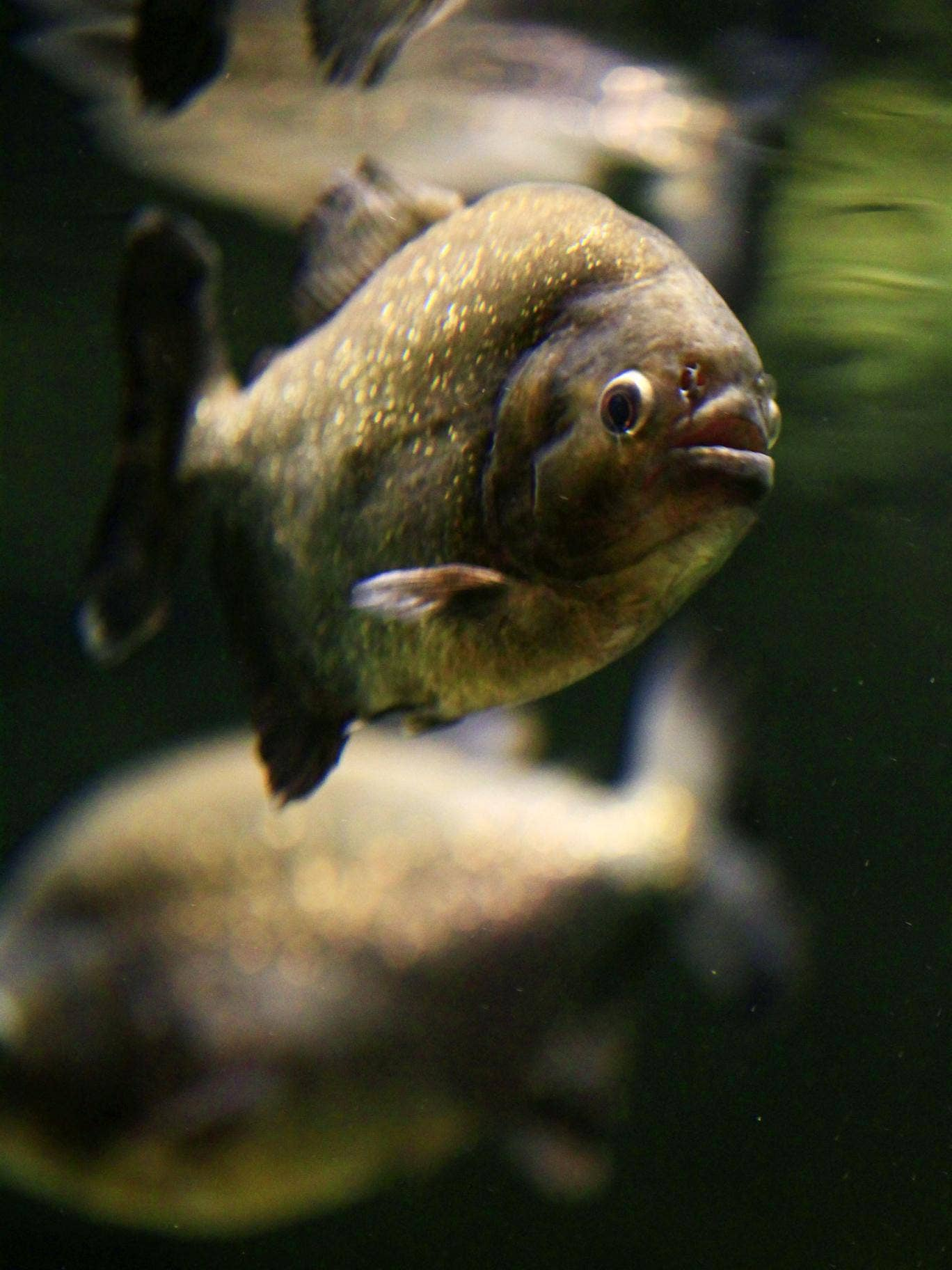 A red bellied piranha, similar to the palometas that have injured bathers in attacks in Argentina