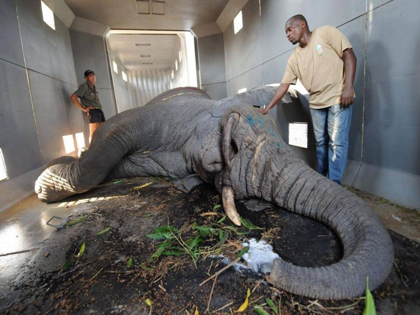 Members of the NGO team IFAW (International Fund for Animal Welfare) stand near an elephant in a truck as part of an operation to relocate dozens of elephants in conflict with farmers in the village of Tapegue, commun of Daloa