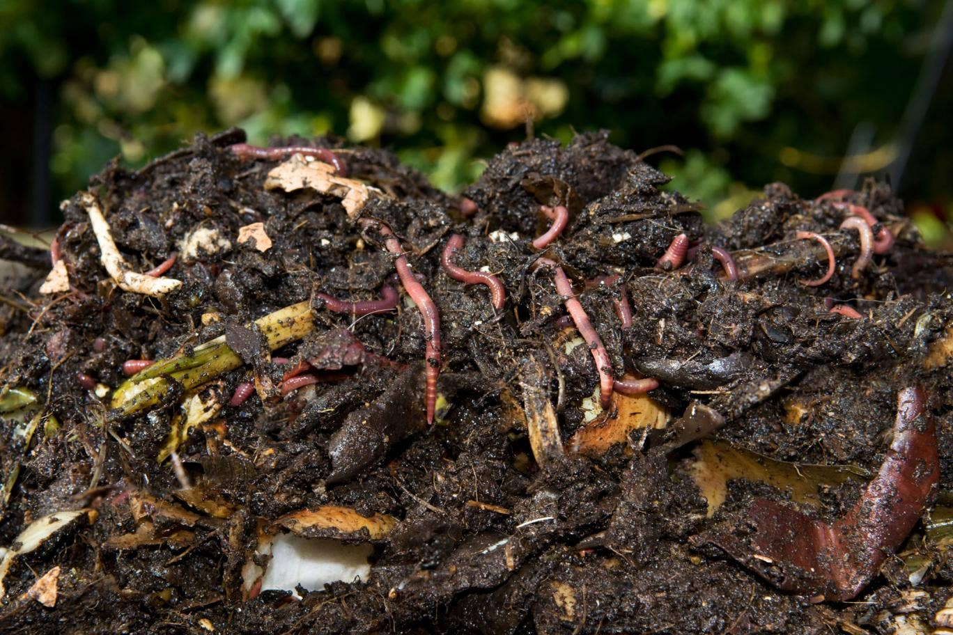 Freshly-dug homemade compost full of worms